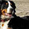 Cachorros de porte grande: tudo que você precisa saber sobre