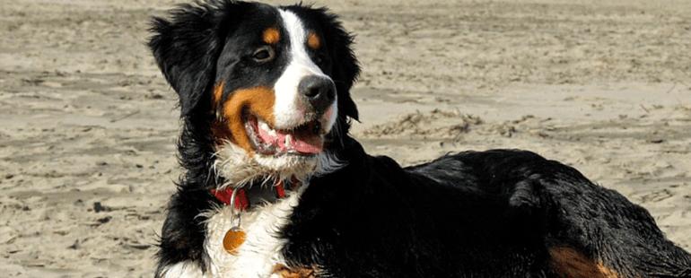 cachorros de porte grande