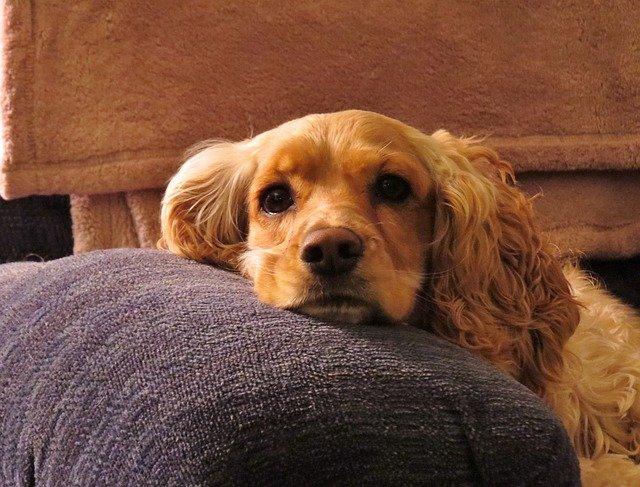 cachorro de porte médio