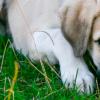 Infecção intestinal em cachorros: quais os principais sintomas?