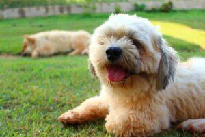 raças de cachorro: lhasa apso