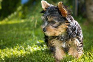 raças de cachorro: yorkshire