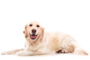 raças de cachorro: Golden Retriever