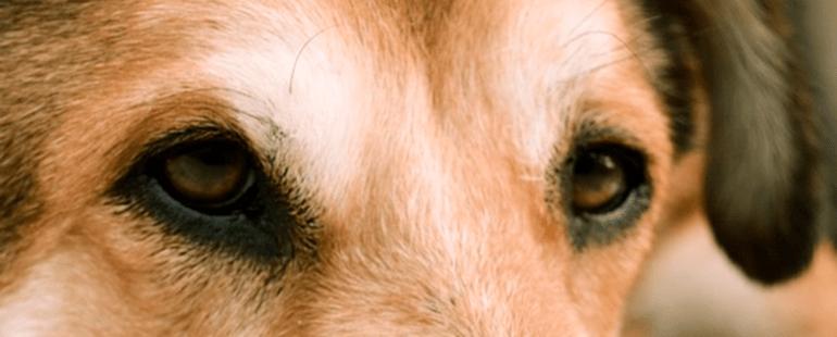 cachorro olho amarelo destaque destaque