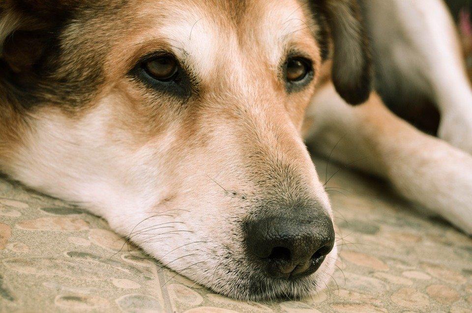 cachorro olho amarelo