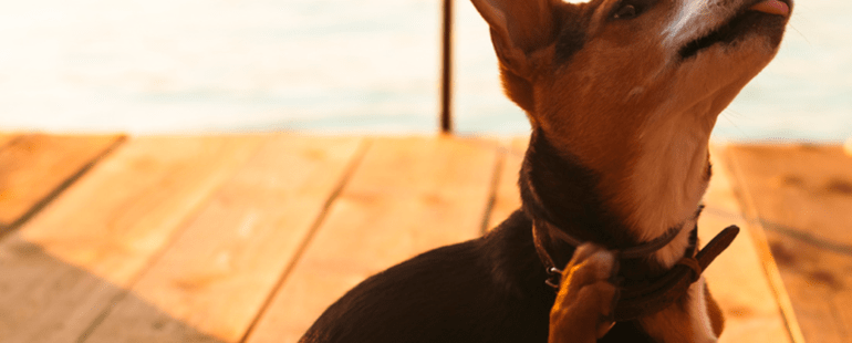 carrapato em cachorro destaque