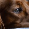 Cachorro engasgado: como socorrer o seu pet nessa situação?
