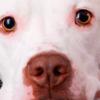 Cachorro com a língua roxa: o que fazer?