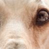 Cachorro com orelha caída: o que isto pode significar?