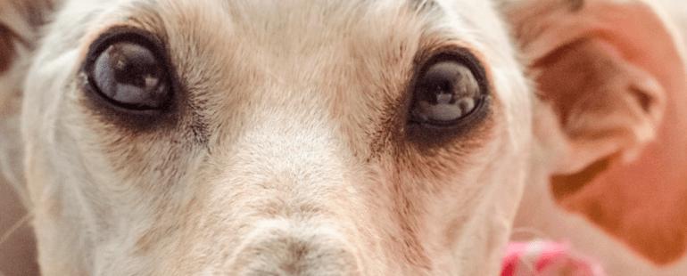 cachorro orelha caida destaque