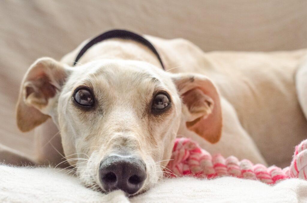 cachorro com orelha caída