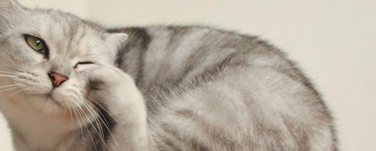 piolhos em gatos destaque